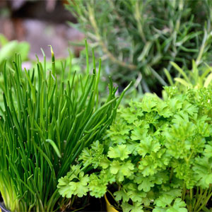 Parsley, Chives, & Rosemary Growing in Pots