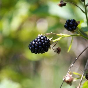Imbolc / Brigid's Day Blackberries
