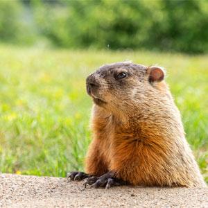 Imbolc / Brigid's Day Groundhog