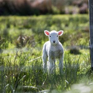 Imbolc / Brigid's Day Lamb