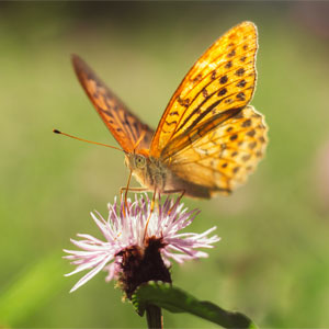 Litha Symbols - Butterfly on Flower