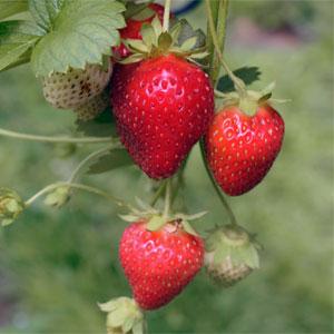 Litha Fruits & Vegetables - Strawberries