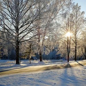 Winter Sun Through Trees