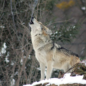 Wolf Howling in Snow